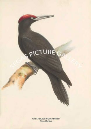 GREAT BLACK WOODPECKER - Picus Martius